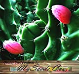 BIG PACK - (200) PERUVIAN APPLE CACTUS Seeds - Cereus peruvianus Fig Cactus - EDIBLE FRUITS High In Vitamins and Antioxidants - FRESH SEEDS - By MySeeds.Co (Big Pack - Peruvian Cactus)
