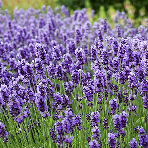 (Outsidepride Lavender English Plant Seed - 5000 Seeds)