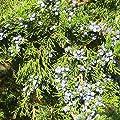 10 Seeds of Cupressaceae - Juniper Cedar Cypress Tree. 10-30 Feet Tall. Fragrant