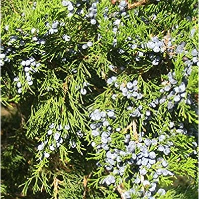 10 Seeds of Cupressaceae - Juniper Cedar Cypress Tree. Ornamental aromatic tree growing 10-30 feet tall! : Garden & Outdoor