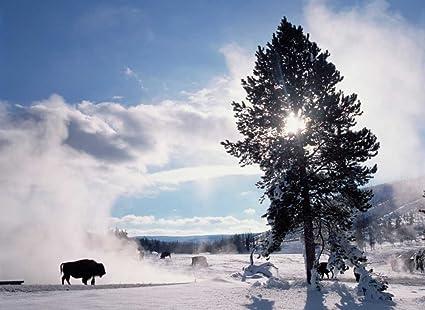 Amazon Com American Bison In Winter Yellowstone National