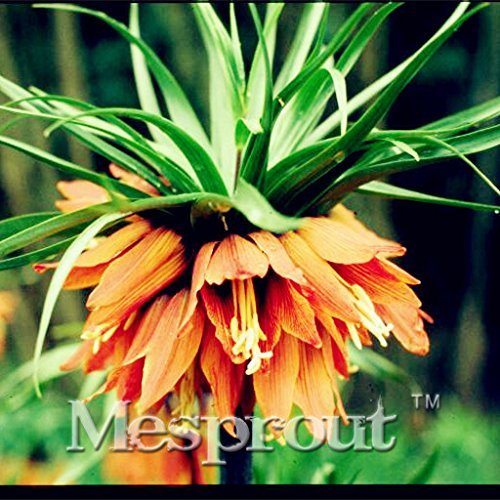 100 Seeds Crown Imperial Seeds Wang Fritillaria Seeds Ground Cover Plant 4 #32692493190ST