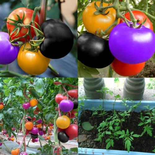 MAZIMARK--100Pcs Rainbow Tomato Seeds Colorful Bonsai Organic Vegetables Seed Home - In Charlotte Nc Outlet