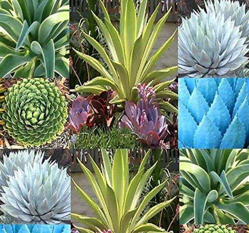 Amazon Com 20 X Agave Species Seeds Mix Showy Desert Plants