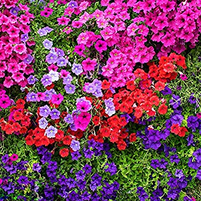 Hanging Mixed Bonsai Petunia Hybrid Seeds, 300PCS Tom Seeds : Garden & Outdoor