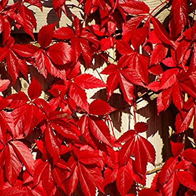 Virginia Creeper Seeds - Excellent Covering for Walls, trellises, Fences, Ground to Cover Old Stumps, Rock Piles, Erosion Control on Slopes. (100 Seeds) by VioletSeeds : Garden & Outdoor