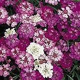 Candytuft, Dwarf Fariy Mix Candytuft Flower Seeds, Organic - Best Reviews Guide