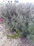 Sandys Nursery Online Podocarpus Macrophyllus Japanese Yew Quart Pot