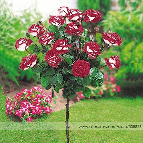 New Hybrid Variety White Red Rose Tree Flower Seeds, Professional Pack, 50 Seeds / Pack, Fragrant Garden Bonsai Flower #NF757