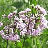 Everwilde Farms - 500 Nodding Onion Native Wildflower Seeds - Gold Vault Jumbo Seed Packet