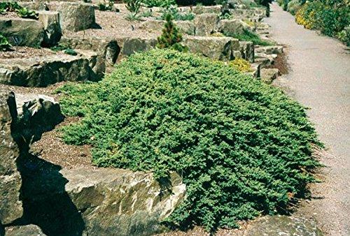 Juniper Procumbens Nana Qty 60 Live Plants Groundcover by Florida Foliage (Image #3)