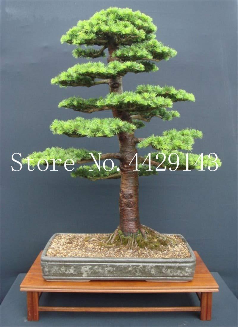 Pinkdose 100/% wahre heilige japanische Zeder Baum Bonsai Pflanze Tanne Topfpflanze gemischt Hausg/Ã/¤rten kostenloser Versand 20 Semillas