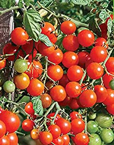 Red Cherry tomate Semillas Sladkaya Grozd rusa de la herencia no GMO