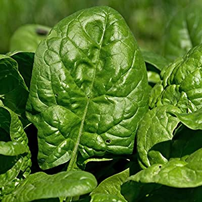 Giant Nobel Spinach Seeds - Heirloom, Non-GMO Gardening Seed - Slow Bolt Garden Spinach - Microgreens Seed