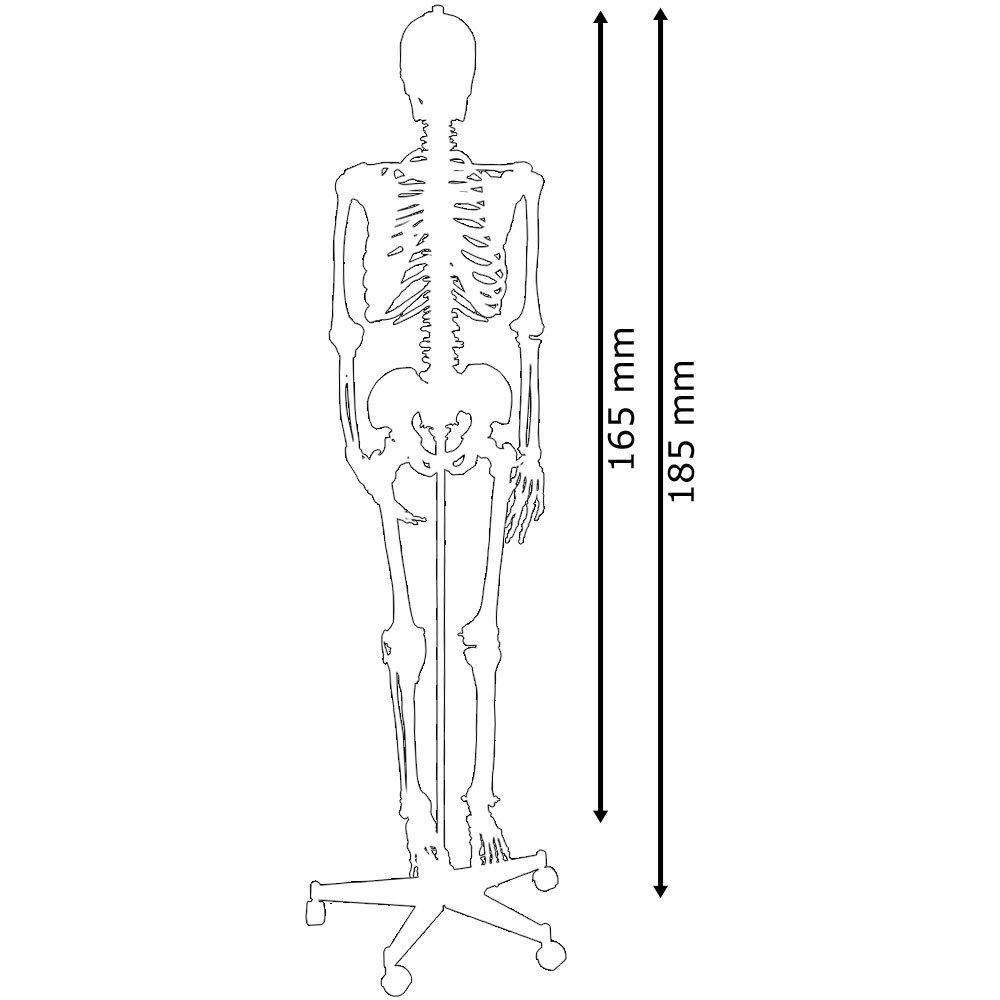 Menschliches Skelett Lebensgroß mit Bemalung Muskeln Knochen ...