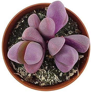 Pleiospilos nelii riesige lebendige Steine