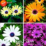 Promotion!Osteospermum Seeds Potted Flowering Plants Blue Daisy Flower Seeds for DIY Home & Garden,50 PCS