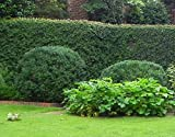 American Boxwood - Lot of 10 plants (1 foot tall in trade gallon containers) Traditional evergreen hedge
