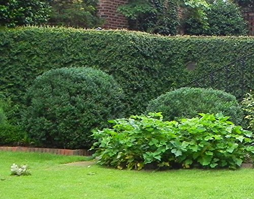 American Boxwood - Lot of 10 plants (1 foot tall in trade gallon containers) Traditional evergreen hedge by DAS Farms
