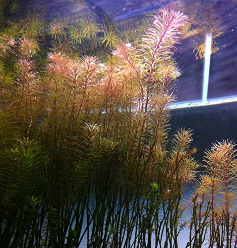 - Greenpro (3 Bundles) Rotala Wallichii Live Aquarium Plants Freshwater Tanks Decorations