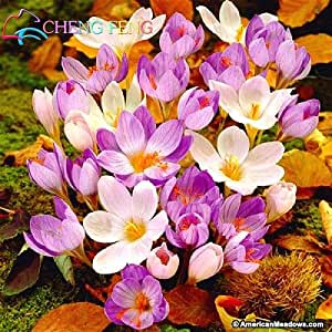 Crocus Seed Potted Plants Flowers Balcony Plants 100 Seeds Chinese Garden Medicine Herb Flower Bulbs Seed Bonsai Pot Home Gift
