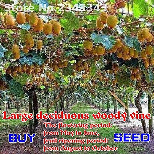 Fiori Kiwi.Pinkdose Il Re Dei Frutti Piante Giallo Kiwi Garden Cortile Piante