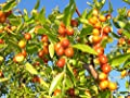 12 Seeds Ziziphus Mauritiana (Indian Jujube Fruit Tree)