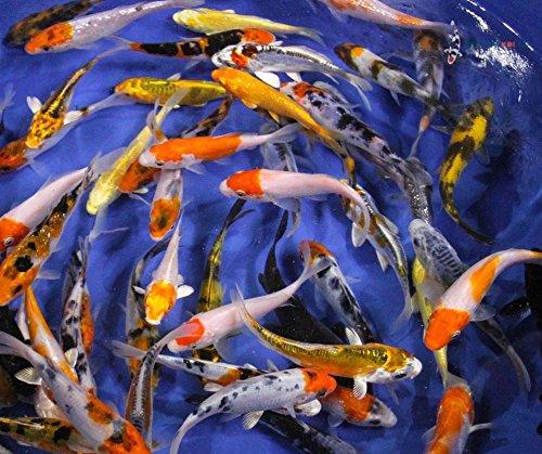 Blue Ridge Koi Grade AA Standard Fin Koi by Live Pond Fish for Aquarium and Tank, Healthy and Bio-Secure