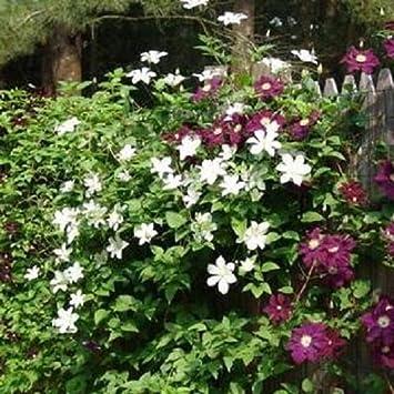 Immergrüne Kletterpflanze immergrüne hecke mit kletterpflanzen clematis efeu für eine 2