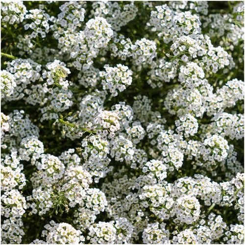 Sweet Alyssum (Carpet of Snow) Wildflower Seeds, 1 Oz