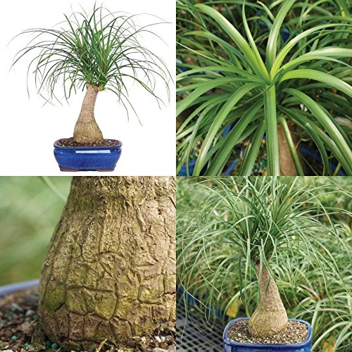 Ponytail Palm Bonsai Tree Home Or Office Indoor Plant 6 Years Old Best Gift - Palm Mall Garden