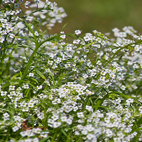 Outsidepride Alyssum Tiny Tim Ground Cover Seed - 5000 Seeds ()