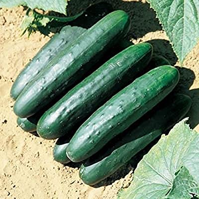 Raider F1 Cucumber Seeds - A champion performer in the garden! Disease resistant
