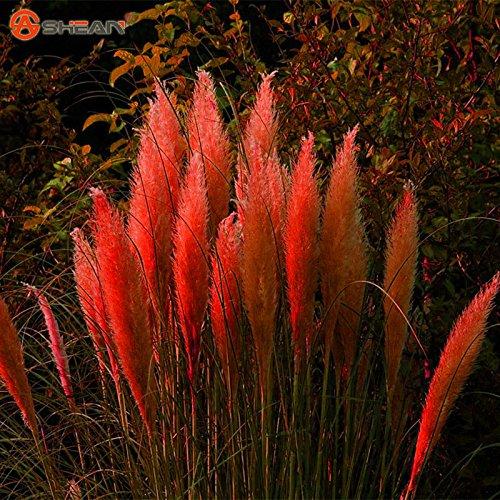 500pcs / bag Pampas (RED) Grass Cortaderia Seeds Are Very Beautiful Garden Plants Decorative DIY