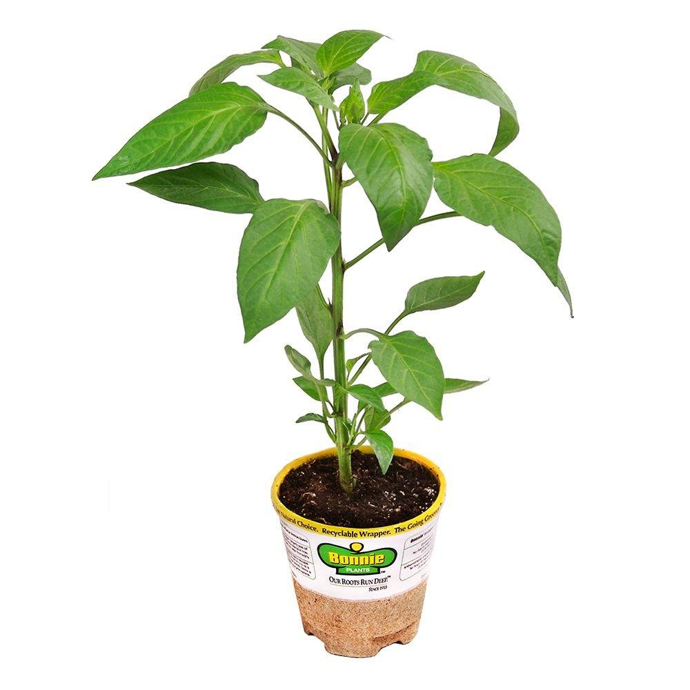 Amazon.com : Bonnie Plants 2100 Green Sweet Bell Pepper Vegetable ...