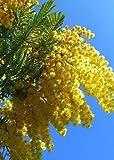 TROPICA - Albero di Mimosa (Acacia dealbata) - 25 Semi- Australia