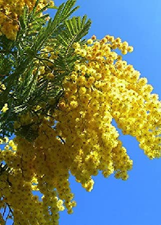 Tropica Mimosa Tree Silver Wattle Acacia Dealbata 25 Seeds