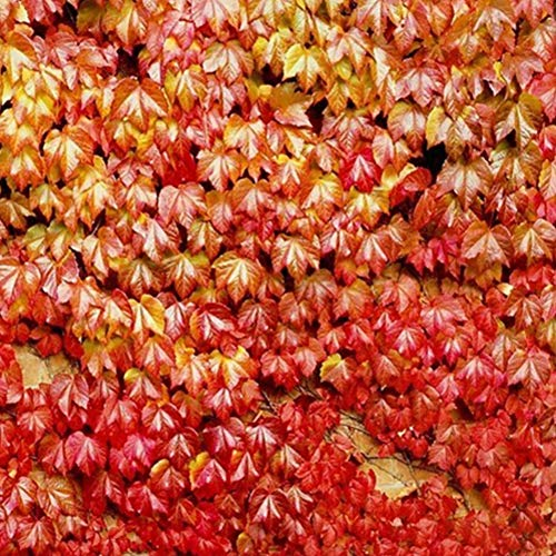 Parthenocissus Tricuspidata Seeds, 30 Seeds/Bag Fast Growing Vine/Climber for Wall Decoration