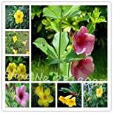 Allamanda violacea Seeds Seeds Petals flower Seeds Bonsai For Flower 100 Seeds 10 #32680021841ST