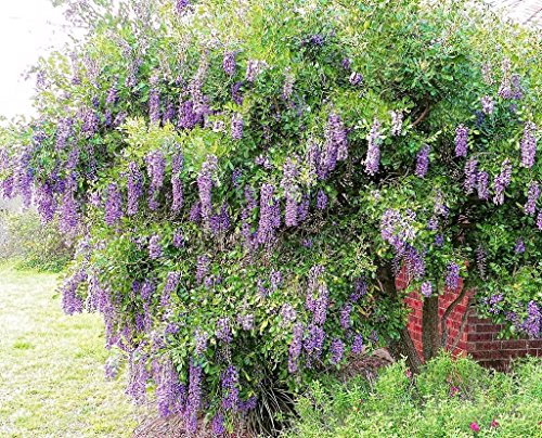 Laurel Tree - Texas-Mountain-Laurel, exotic Sophora secundiflora rare Mescal bean seed 15 seed