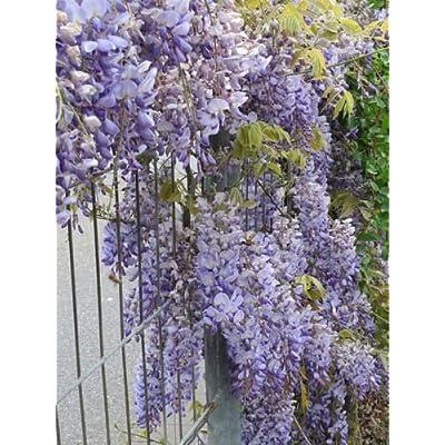5 JAPANESE WISTERIA Floribunda Flower Purple Ornamental Vine Climber Seeds : Garden & Outdoor