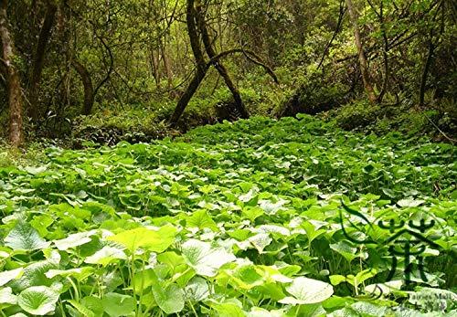 Shopmeeko ^^ Mostaza japonesa Wasabia Japonica 300 piezas/bolsa, Hierba perenne Rábano picante japonés ^^, Familia Brassicaceae Vegetal Wasabi ...