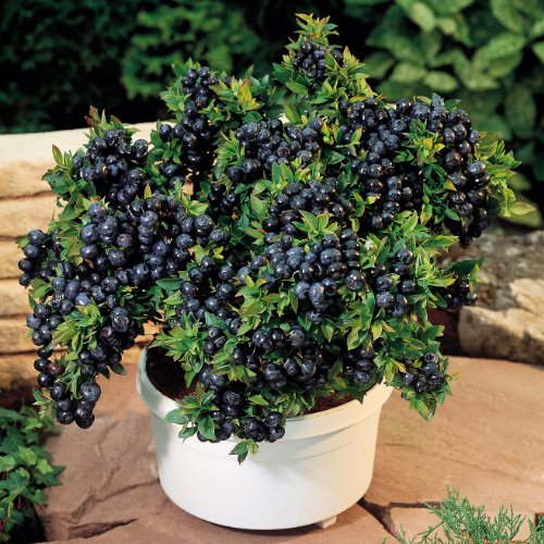 (* 80 Seeds with Hermetic Packing * Blueberry Bonsai Tree Indoor Outdoor Available * Heirloom Fruit Seeds)