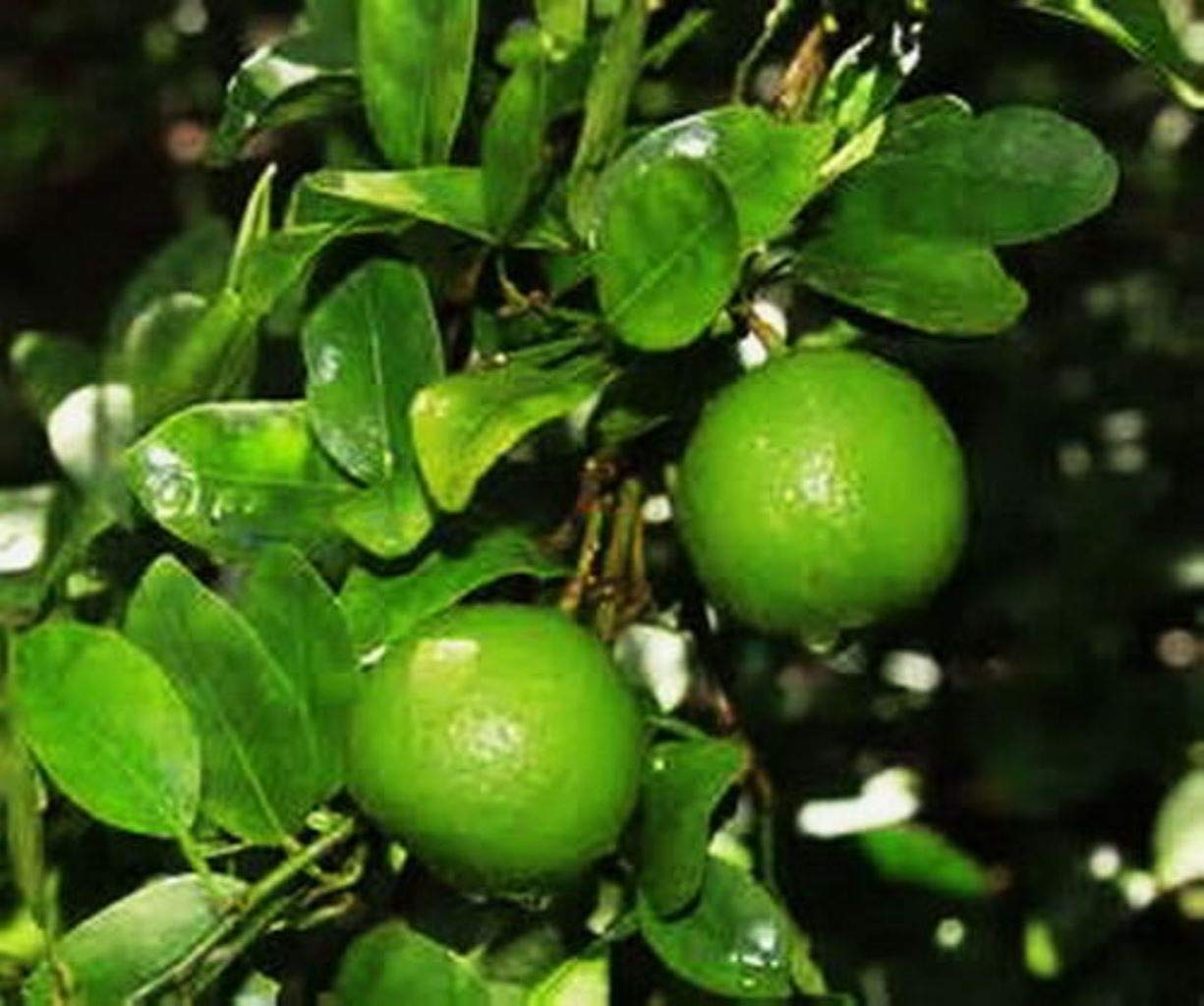 Dwarf Key Lime Tree One Starter Plant Fragrant Produces Full Size Fruit M4