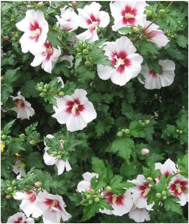 Exotic Plants Hibiscus syriacus China Chiffon - - 20 Semillas