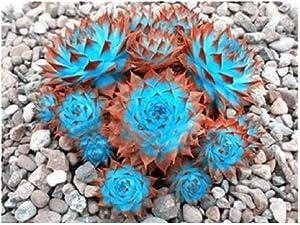 100 Pcs Sale!Hens and Chicks Succulent Mix Seeds (Sempervivum Hybridum) Bonsai Plant Flower Seeds for Home Garden