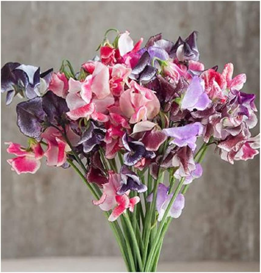 Amazon Com David S Garden Seeds Flower Sweet Pea Spencer Ripple