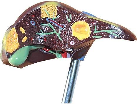 SFHK 1:1 Perfk Modelo De Hígado Humano Vesícula Biliar Model De órgano Demostración Educación Científica: Amazon.es: Hogar