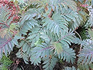 1 Pcs of 3 quart Melianthus major 'Antonow's Blue', Honeybush