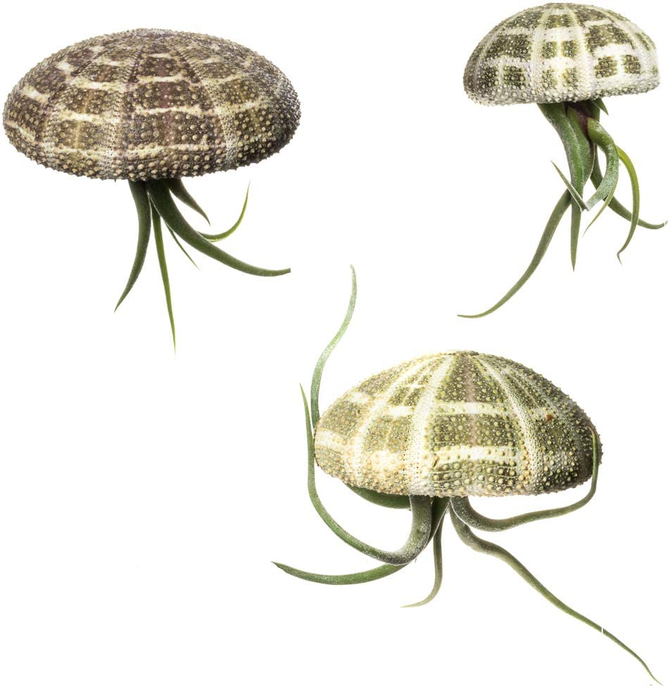 Nautical Crush Trading Urchin Air Plant Alfonso Sea Urchins and Medusa Tillandsia Gift Set Jellyfish Trio 3 Pack